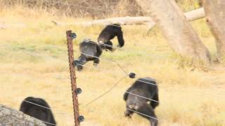 Chimpanzee battles at Chimp Eden