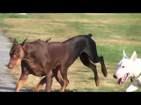 DOBERMAN PINSCHERS PLAYING