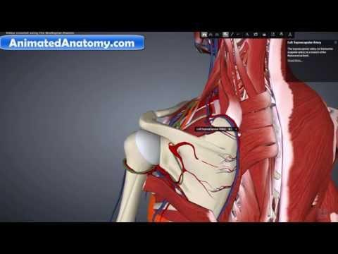 Shoulder Anatomy part 5 - Arteries & Blood Supply