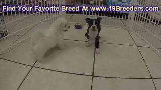 Boston Terrier, Puppies, For, Sale, In, Badger, County, Alaska, Ak, Kink Fairview, College