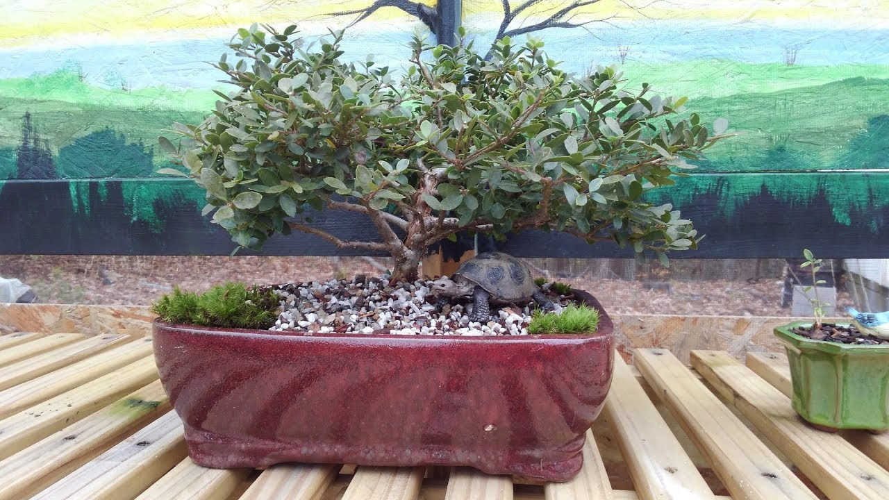 Making A Bonsai From Home Depot Nursery Find