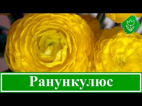 Цветок ранункулюс – уход и посадка; выращивание ранункулюс в домашних условиях