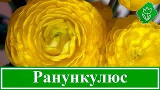 Цветок ранункулюс – уход и посадка; выращивание ранункулюс в домашних условиях(, 2016-01-26T11:49:56.000Z)