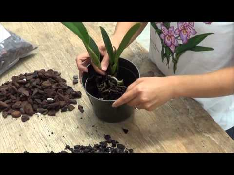 transplanting cattleya orchids to 5 inch pot akatsuka orchid gardens youtube. Black Bedroom Furniture Sets. Home Design Ideas