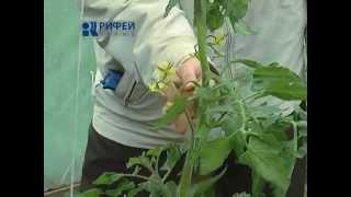Зеленый участок - Опыление томатов в пасмурную погоду(, 2015-07-29T14:52:15.000Z)