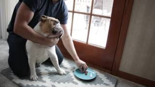 How to Easily Adminster Medication to a Bulldog