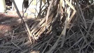 how to plant sugar cane