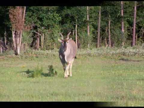 Cherokee Trace Wildlife Safari Jacksonville Texas - Mufasa the eland - TX Drive Thru