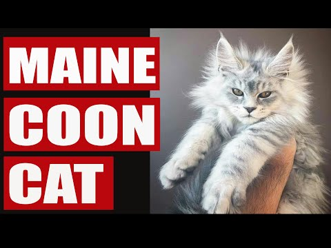 Living with maine coon cat - Funny maine coon