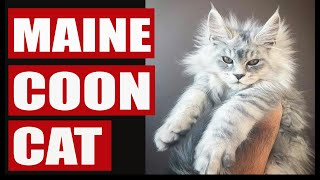 Living with maine coon cat  Funny maine coon