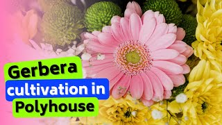 Gerbera Cultivation in Polyhouse