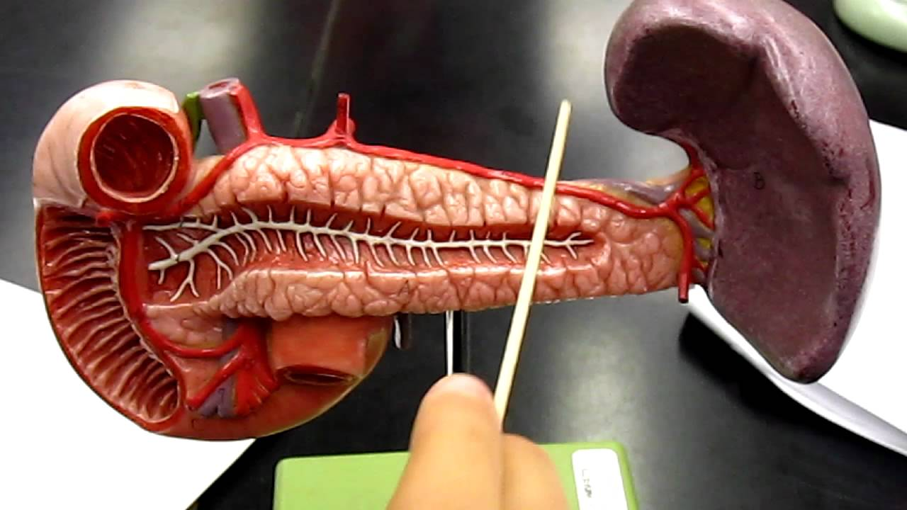 Pancreas Model Jbean Youtube