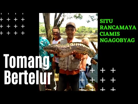 Monsters situ rancamaya (ikan tomang) Mp3