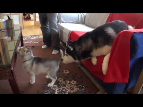 Impossibly Cute Husky Puppy: Wolfie Growing Up PT1