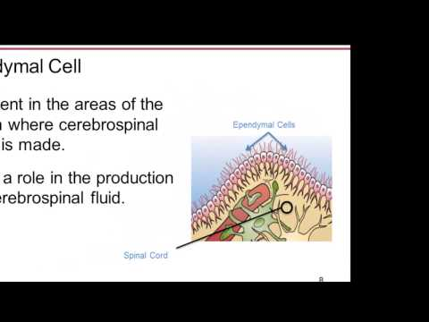 01 04 The Cells of the Brain:  Neurons and Glial Cells