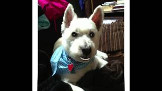 Benny,the Talking Westie, Loves Stan And All Breed Dog Grooming Of North Reading