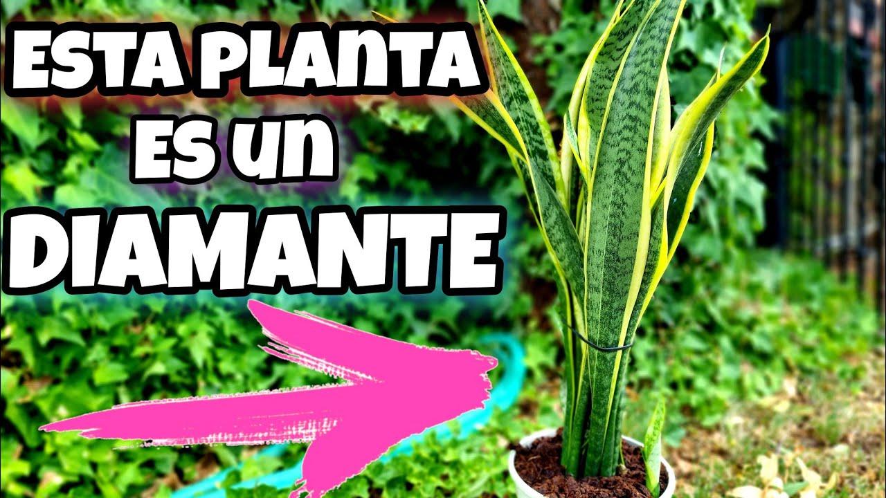 El 98% de LOS JARDINEROS TIENE esta PLANTA en CASA! ES un TESORO (Sanseviera, USOS y cuidados)
