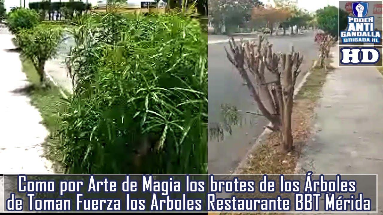 Como por Arte de Magia los brotes de los Árboles de Toman Fuerza los Árboles Restaurante BBT  Mérida
