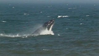 WHALE BREACHES WHILE FEEDING ON BUNKER IN NJ
