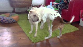 Dog Fight   Shar Pei & Amstaff 1