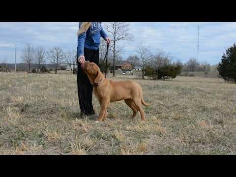 Dogue de Bordeaux Leash Training (Video 1)