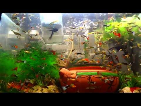 Adding Salt To Million Guppies Fish Collection Aquarium FISHtank