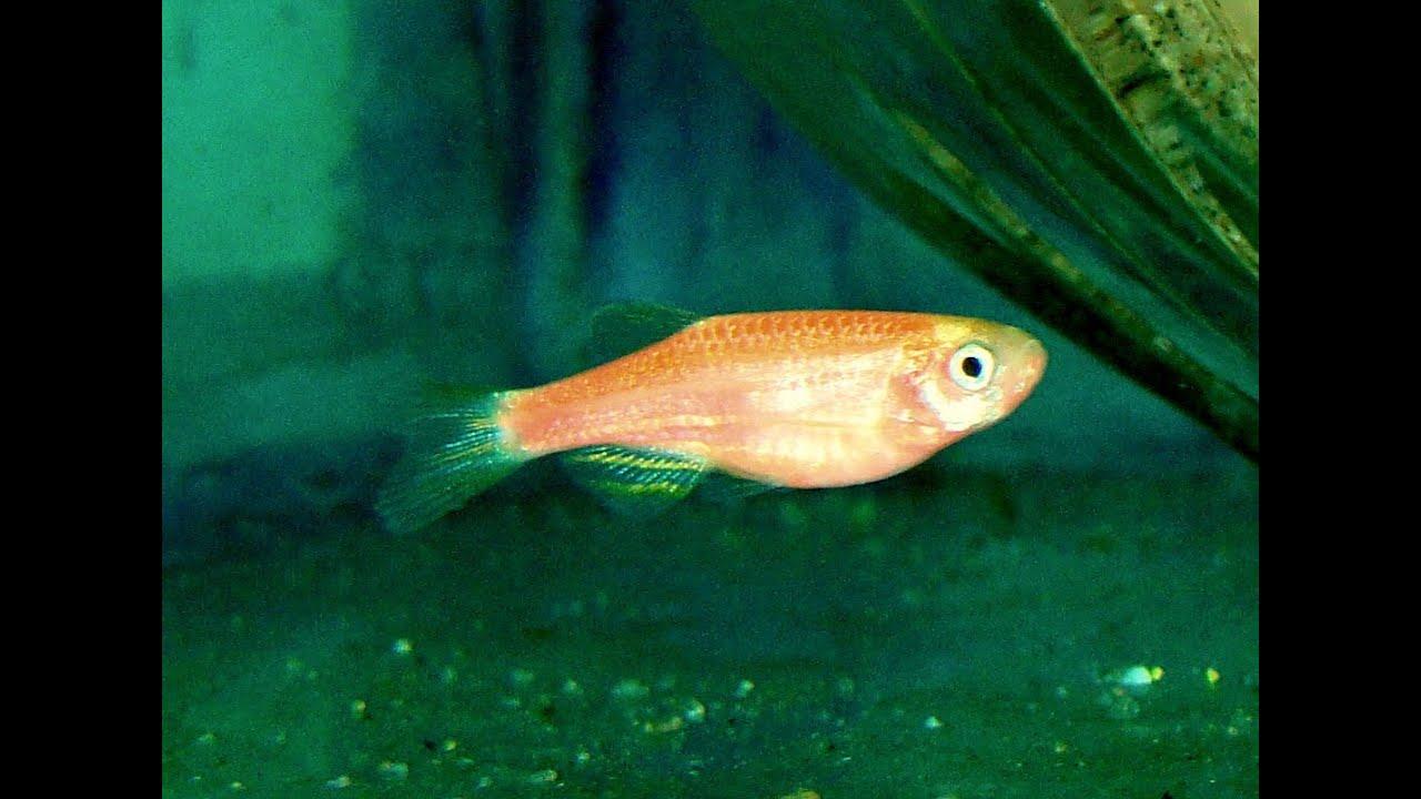Pregnant Pink Zebra Fish - YouTube