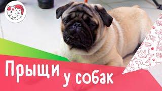 6 популярных вопросов про прыщи у собак
