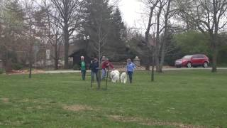 Gateway Sled Dog Club and Samoyed Club pulling clinic