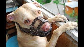 Запрещенные породы. С собакой в апартменты. США.