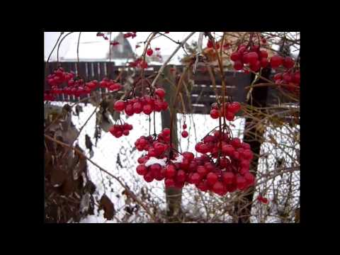 Калина красная, когда собирают ягоду. Как быстрее перебрать калину