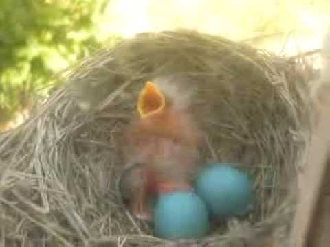 Baby Robin hatching...makes the cutest sounds!
