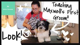 Maxwell's First Groom (Teaching Video) | Wittle Havanese