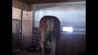 The largest horse in the world !!!