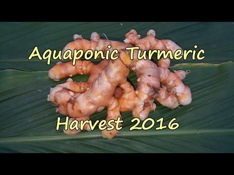 Aquaponic Turmeric Harvest for 2016