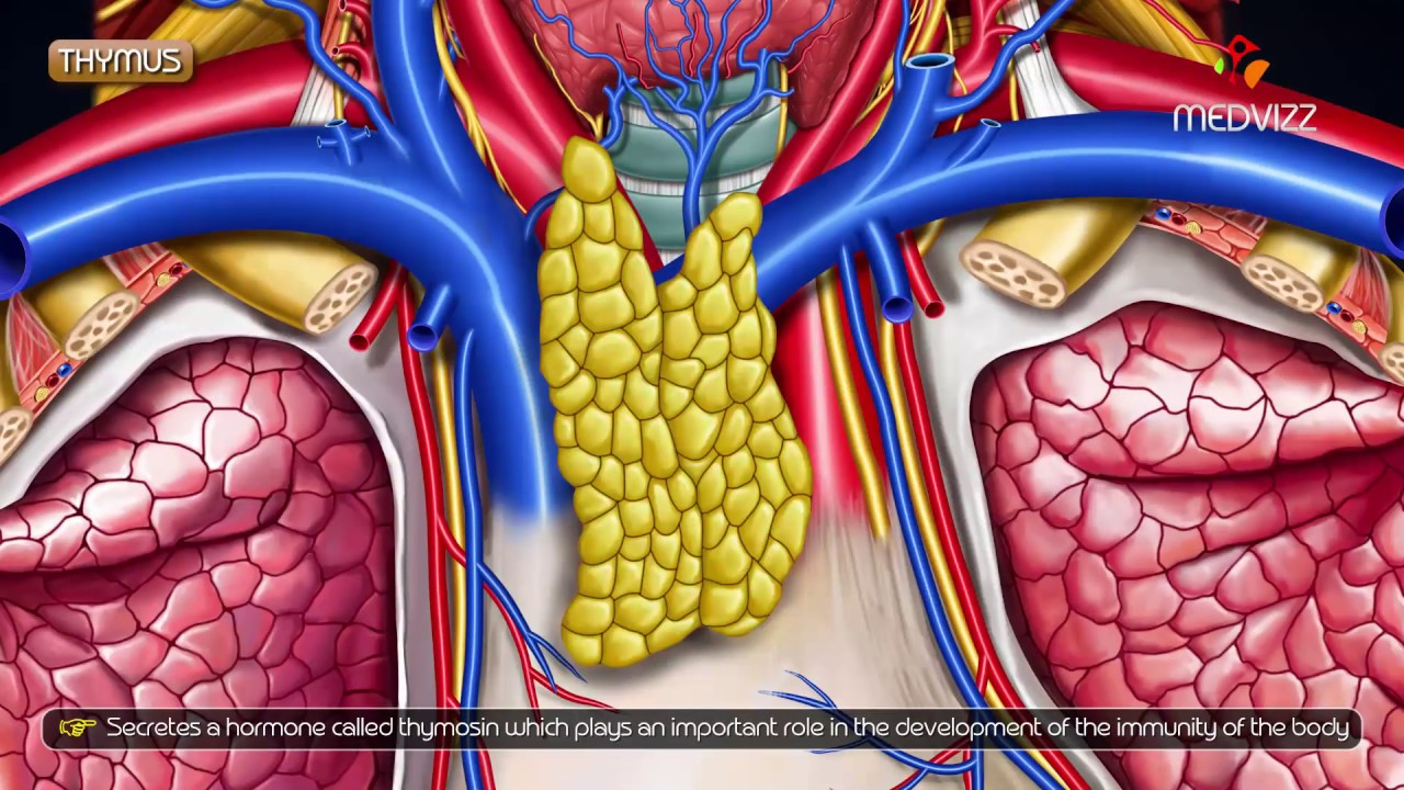 parazita thymus kezelése