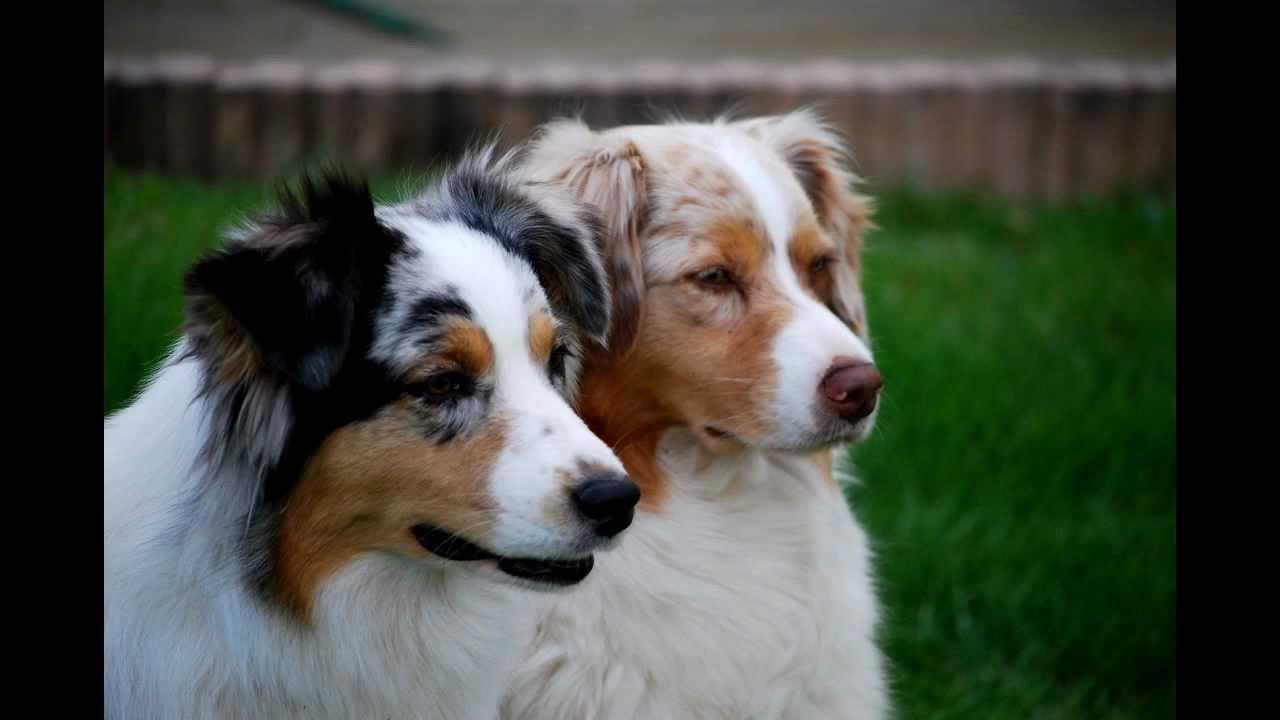 les 6 plus belles races de chien youtube. Black Bedroom Furniture Sets. Home Design Ideas