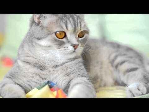 Шотландская прямоухая кошка / Scottish cat / Scottish Straight