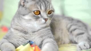 Шотландская прямоухая кошка / Scottish cat / Scottish Straight thumbnail