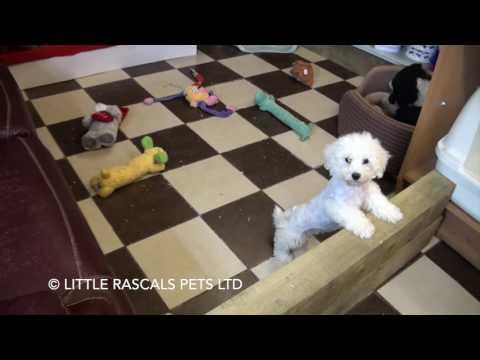Little Rascals Uk breeders New litter of Poochons - Puppies for Sale UK