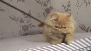 Рыжая персидская кошка (красный окрас D), продам