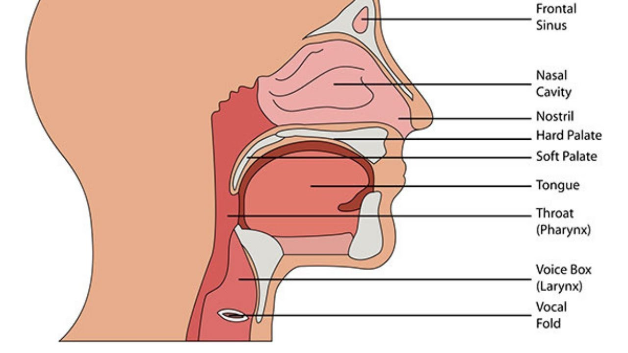simple throat diagram simple wiring diagrams diagram of your throat how to get rid of strep [ 1280 x 720 Pixel ]