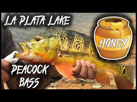 Peacock Bass HONEY Hole!