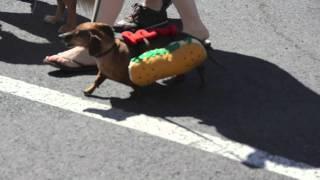 Hot Dog Weiner Dog Bend Pet Parade