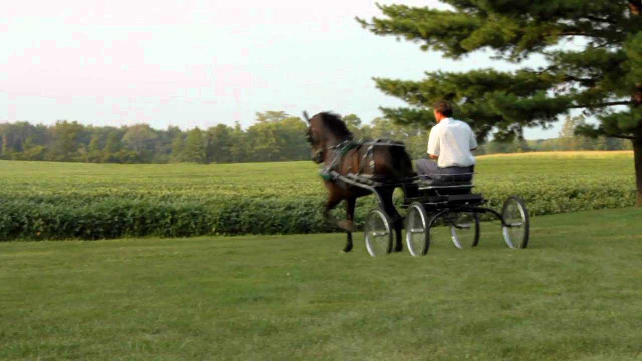 Dutch Harness Horse For Sale By Windfall - YouTube