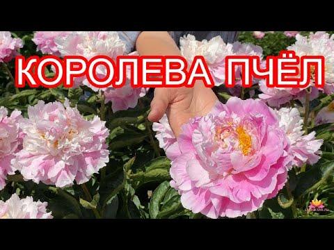 Изумительный розовый пион QUEENBEE / Сад Ворошиловой