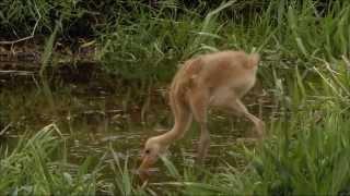 Дикая природа Японии - Снежные обезьяны и вулканы (фильм 1)