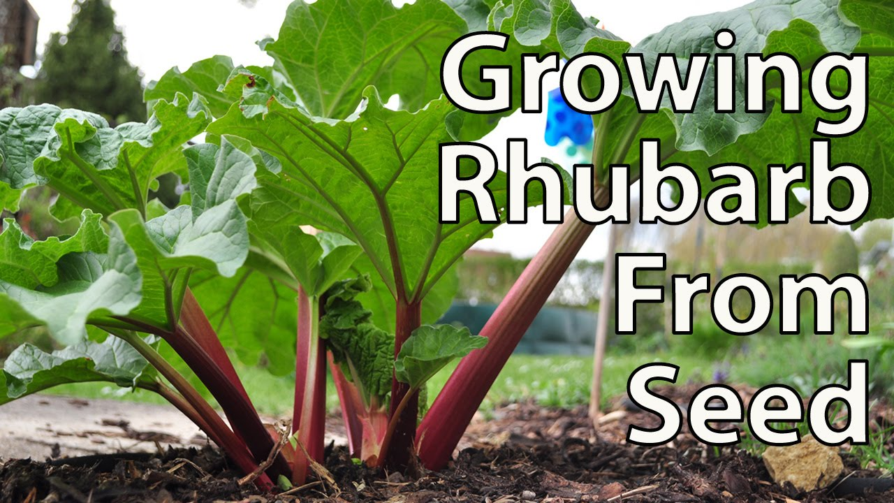 How to plant rhubarb in the fall - How To Grow Rhubarb From Seed For Productive Plants