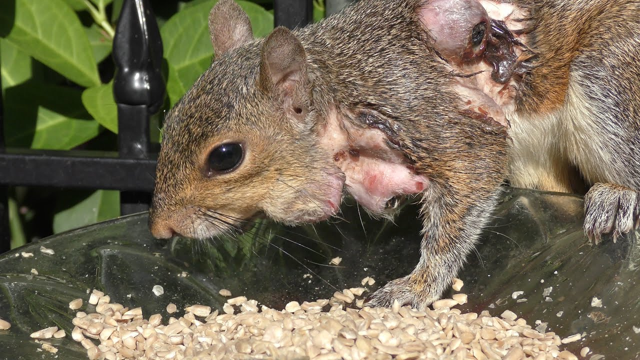 Diseases Dogs Can Get From Squirrels