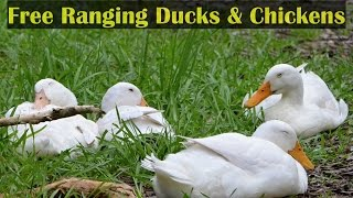 Let's Talk Free Ranging Ducks & Chickens